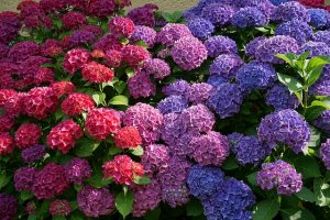 At Home - Hortensia